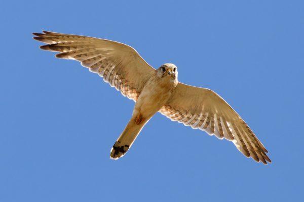 """Rand McNally """"Birds of Prey Used as Alternative to Pesticide"""""""