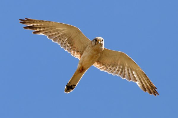 "Rand McNally ""Birds of Prey Used as Alternative to Pesticide"""