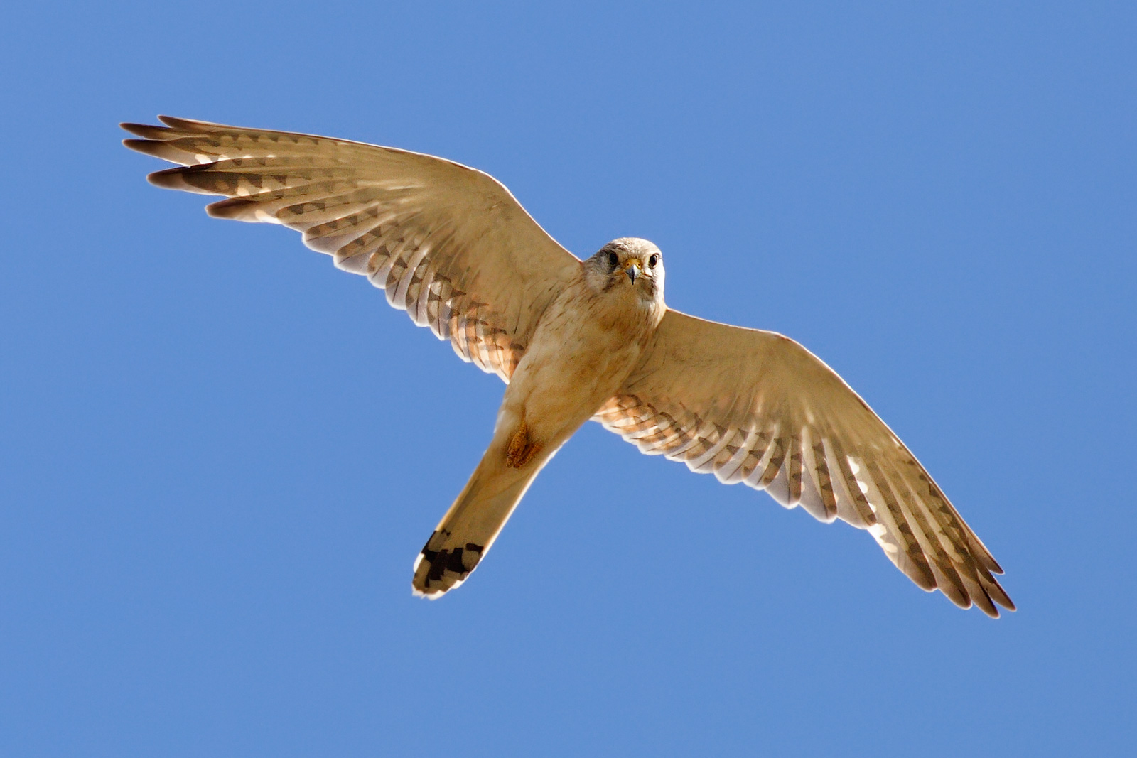 Nankeen_kestrel_midflight